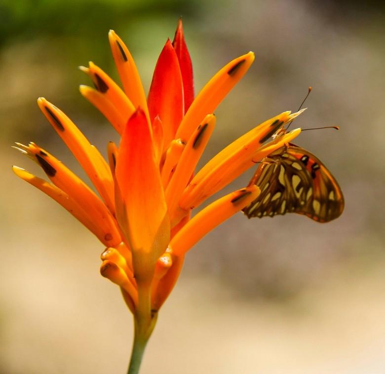 vlinder oranje bloem.jpg - vlinder in dezelfde kleur als de bloemen, mooie kleuren combinatie.