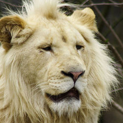 een geschrokken leeuw (?)