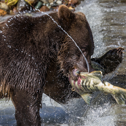 Grizzly met zalm