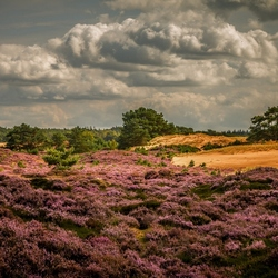 Heide Drents Friese wold