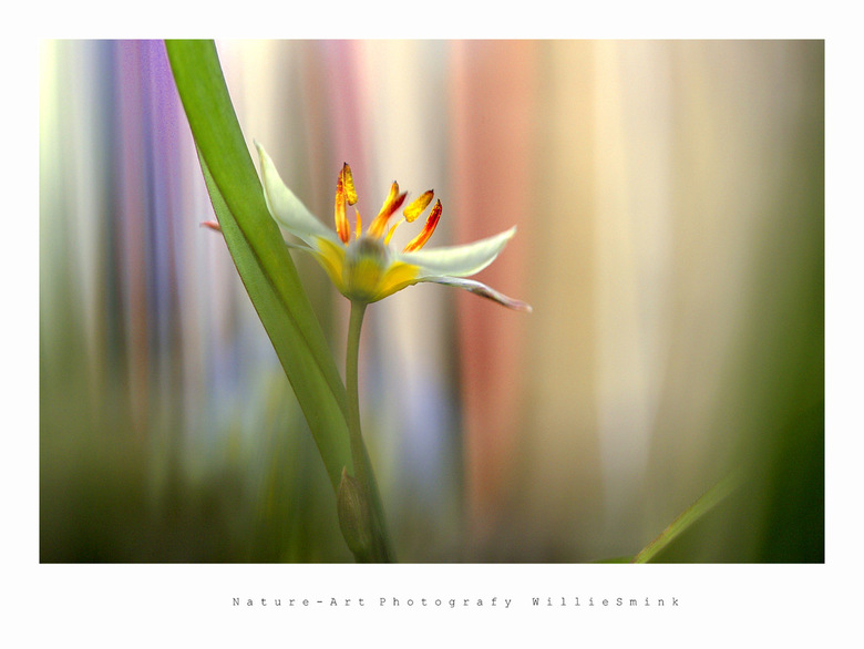 Color ! - Geen bosanemoon maar een mini tulpje . <br /> De achtergrond is een een stuk van het vliegengordijn !! Wat toevallig in de deur hing !