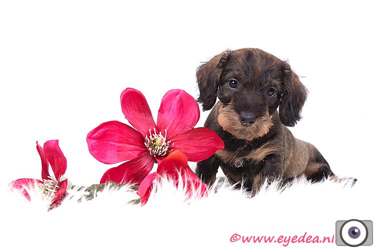 Teckel Otje - Is dit kleine pupje niet heel schattig?!