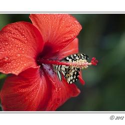 Vlinders 3