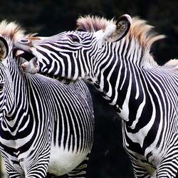 zebra's -2-