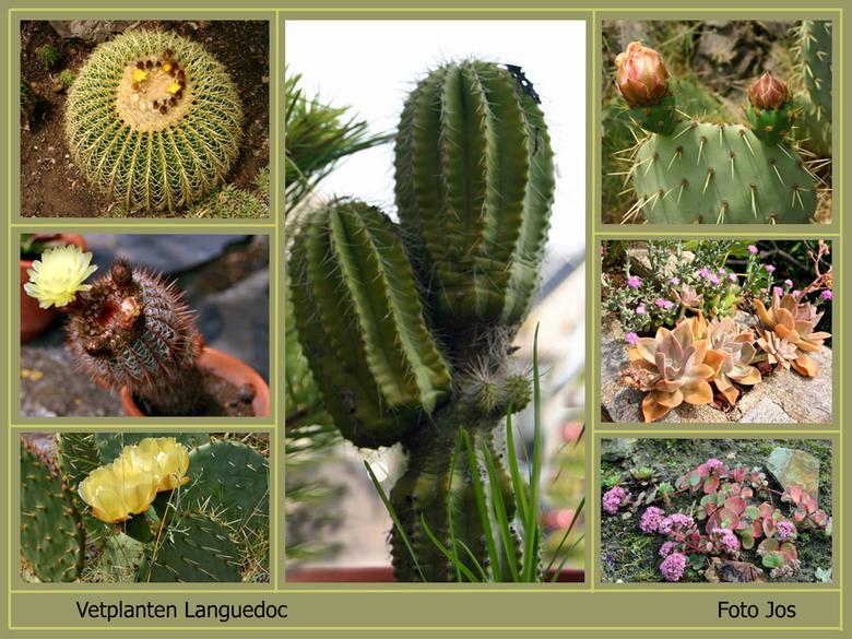 Vetplanten in bloei - Deze vetplanten hebben we gefotografeerd tijdens 'n bezoek aan de mediaterane tuin in de Languedoc. De tuin ligt tegen de b