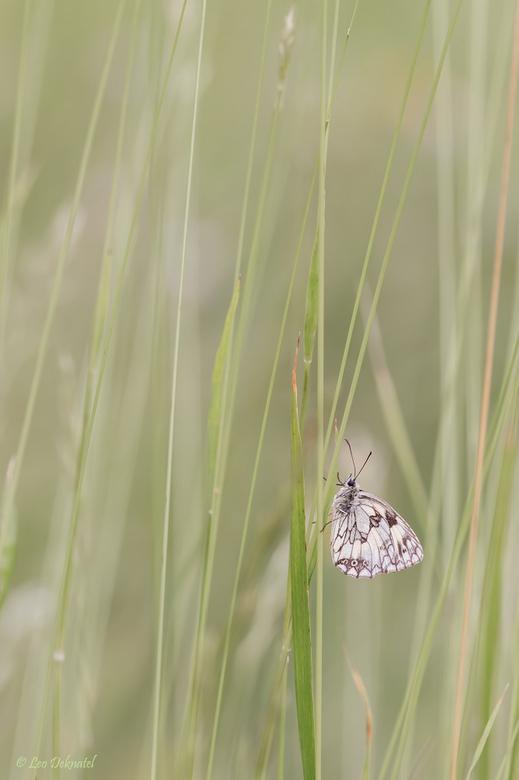 Low rider - Soms lijkt het alsof de vlinders gewoon zitten te wachten tot wij hobbyisten een foto maken. Soms is dat ook zo. Vaak moet je echter zoeke