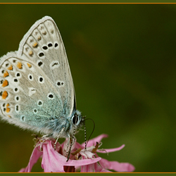 Icarusblauwjte