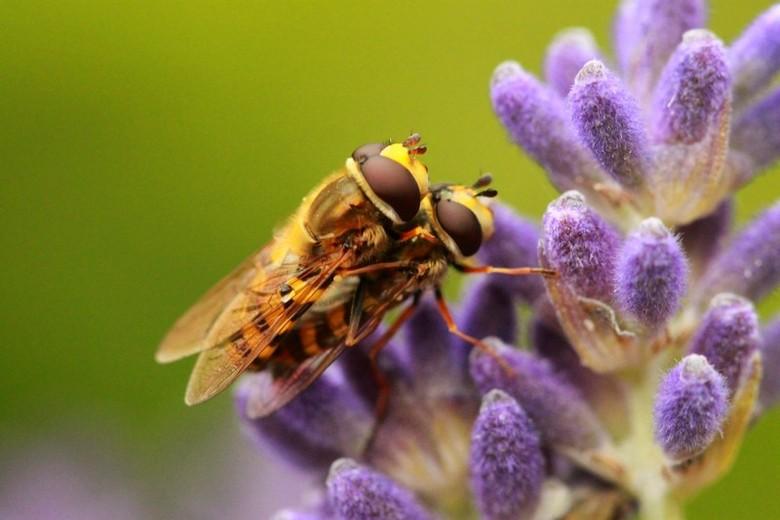 2 Zweefvliegjes &amp; lavendel! - Ondanks het slechte weer gister heb ik tussendoor toch 2 vliegjes weten te vinden!<br /> <br /> Ik zou het leuk vi