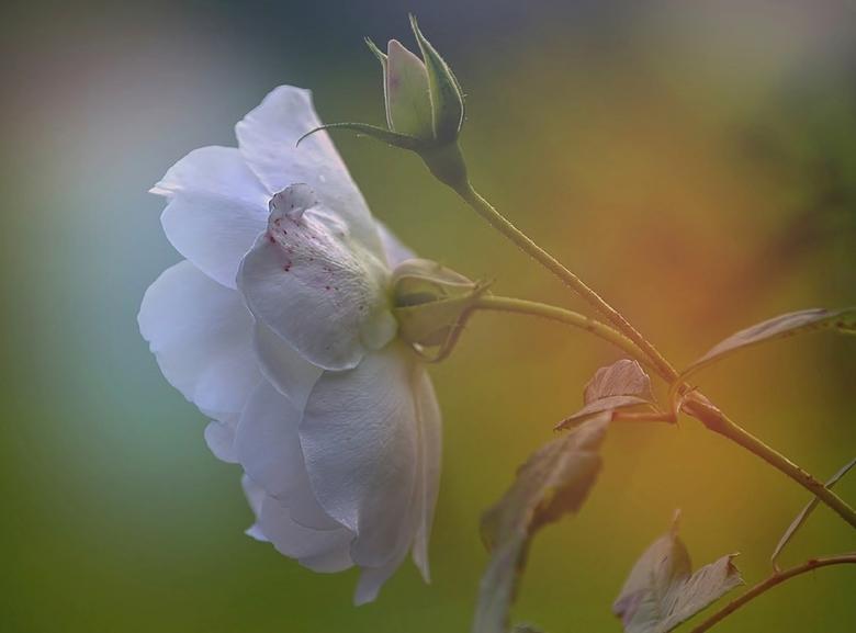 The Last Rose of Summer. - Een van de laatst bloeiende rozen uit m&#039;n tuin.<br /> <br /> De titel verwijst naar &#039;n oud gedicht uit 1805  ge
