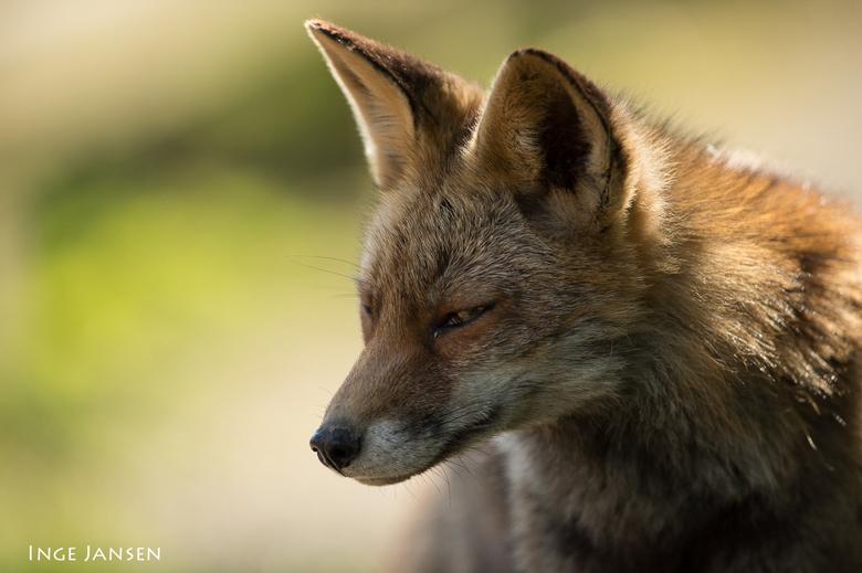 Sluw ! - Vulpes vulpes
