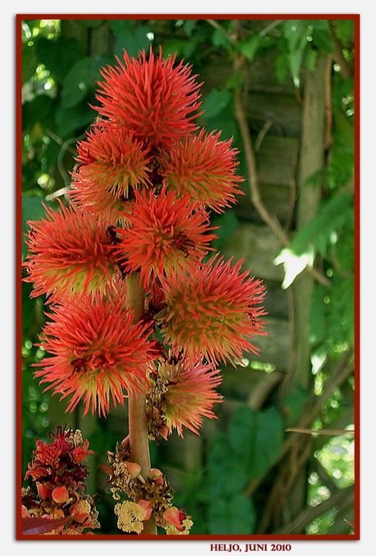 een prachtige, gevaarlijke plant.. - De wonderboom (Ricinus communis) is een snelgroeiende tropische boom. De vrucht van de boom wordt wonderboon geno