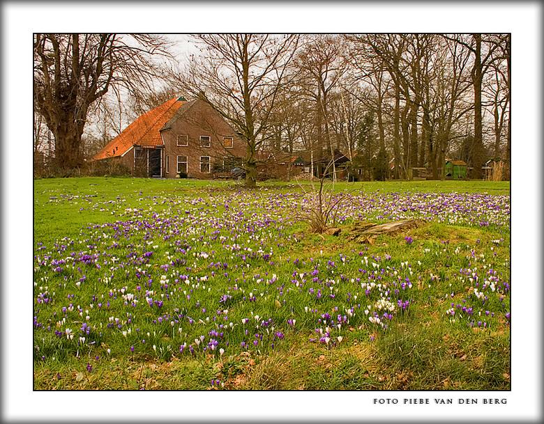 Lente...! - Deze foto heb ik vorige week zaterdag genomen in Oldeberkoop. Het veld krokussen lag er zo mooi bij en er was net even wat zon. Dit is toc