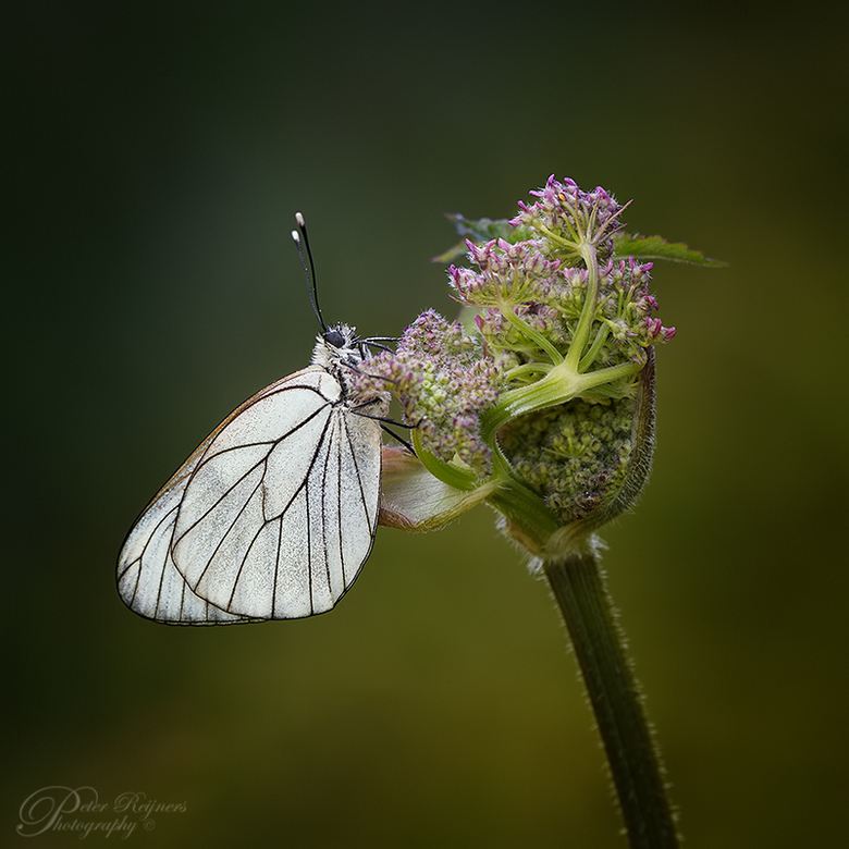 White Beauty - Dit groot geaderd witje kon ik laatst in de Eifel vastleggen.<br /> <br /> Iedereen bedankt voor de reacties op mijn vorige upload.<b