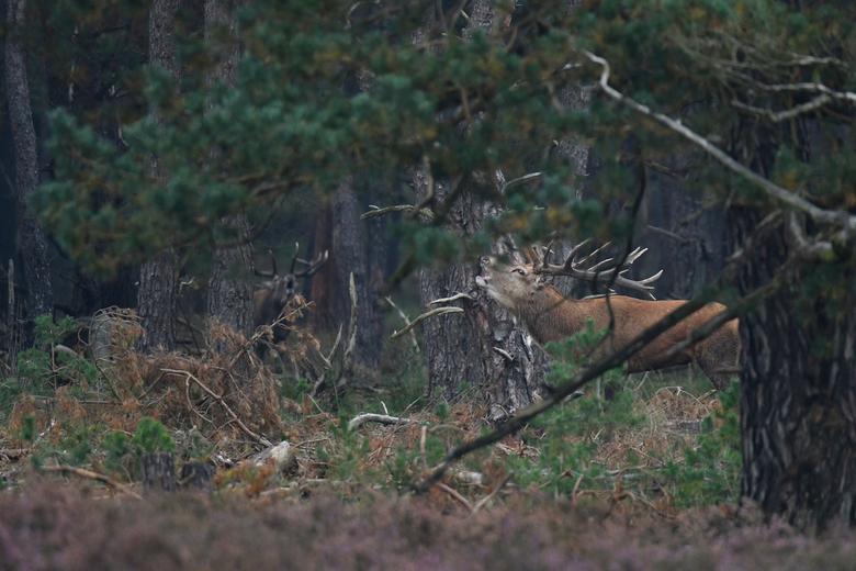 spiegelbeeld - Dit edelhert kwam al burlend uit de bossen vandaan. Nog deels achter de takken toch maar een aantal foto's gemaakt.  Later merkte