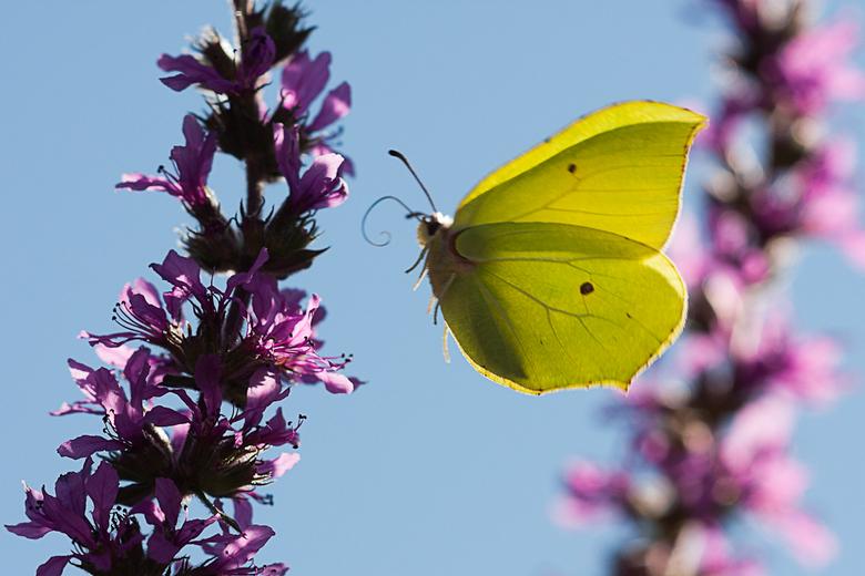 Between some flowers - Citroenvlinder in de vlucht van bloem naar bloem.