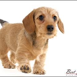 Teckel puppie