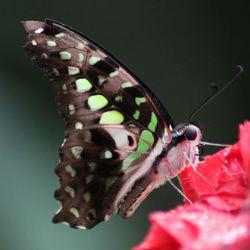 vlinder in vl.tuin Buchholz i.d Nordheide-Seppensen-Dld