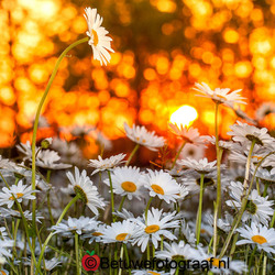 Sunrise on a Daisy's Field
