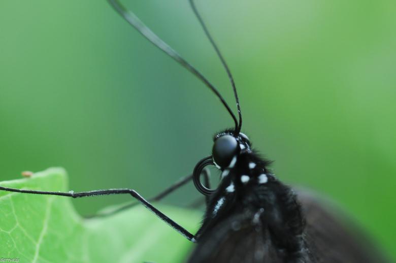 Vlinder - Vlinder in Vlindorado.<br /> Met een Nikon 105 mm macro lens. Geleend. Zelf heb ik deze lens nog niet. Hij is aardig aan de prijs.