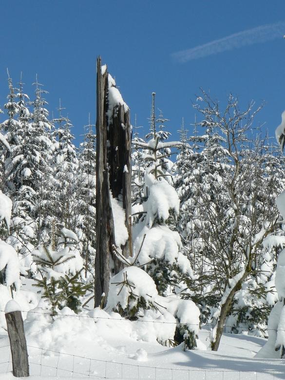 Oud en nieuw - Omgeven door jonge dennen, deze oude stam. Stevig in de sneeuw. <br /> Op de Kahler Asten nabij Winterberg.