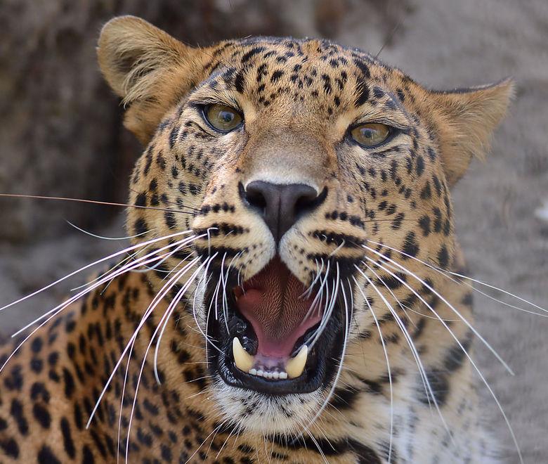 Cheetah close. - Foto gemaakt in de Bestzoo te Best.