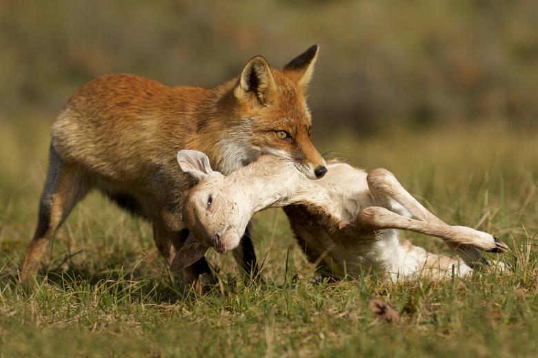 Dinner's served - Jonge vos doet zich tegoed aan een damhert kalf