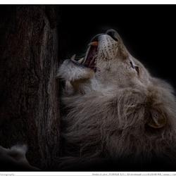 The lion sleeps not tonight