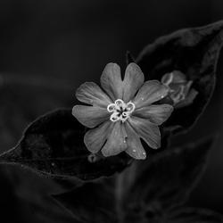 zwart wit bloem