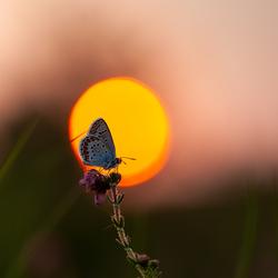 heideblauwtje in de late zon