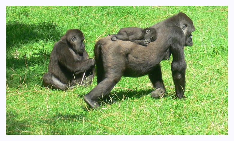 Apen familie -