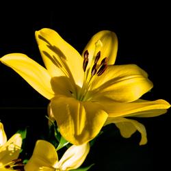 Gele lelie in zonlicht
