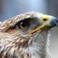 Buizerd close-up