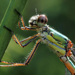 Houtpantserjuffer  Lestes viridis vrouw