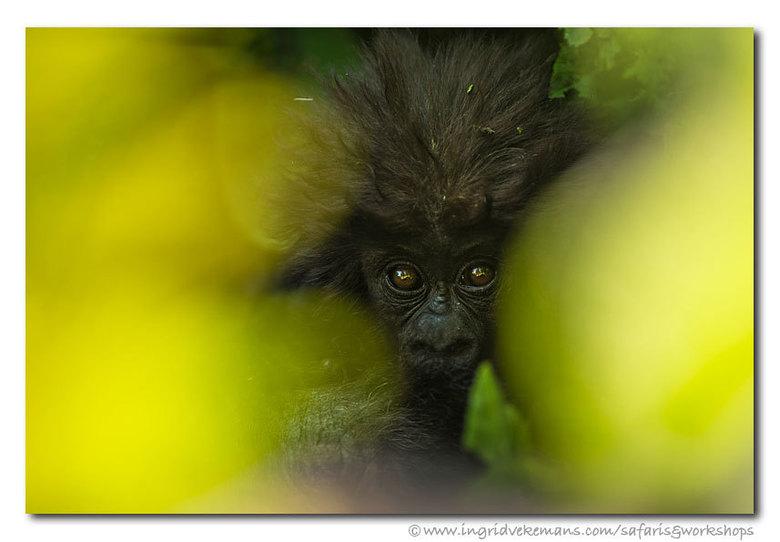 Baby Gorilla - Vorige week vernomen dat mijn foto van een baby gorilla (genomen tijdens een Oeganda-prospectiereis) categoriewinnaar werd in de IFWP (