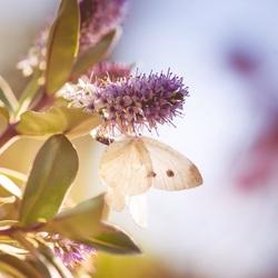 Vlinder in avondzon