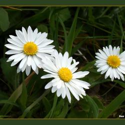 Witte bloemen in de Ooi