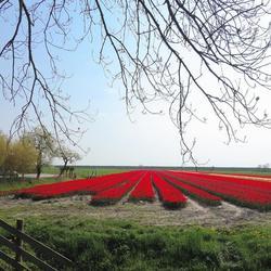 Tulpenveld bij Hoorn