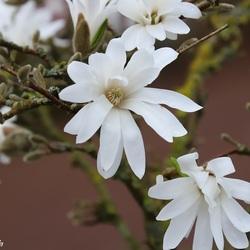 Magnolia's