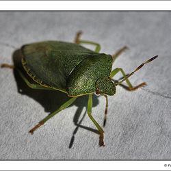 Groene stinkwants