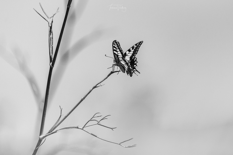 Koningsvlinder in Toledo - Soms leidt kleur af ...
