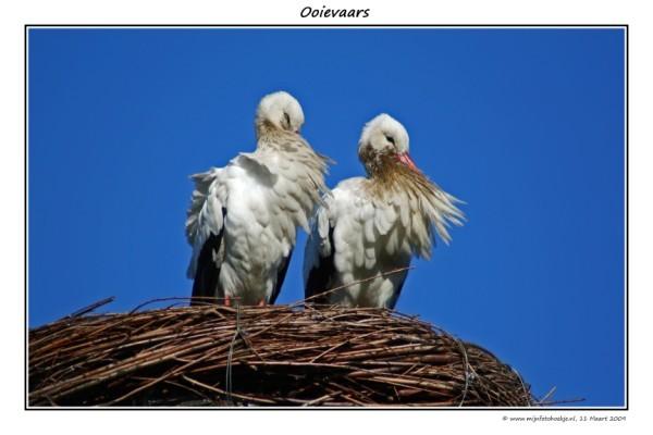 Ooievaars - Sinds lange tijd eindelijk weer eens een nieuwe foto van mij. Ditmaal van 2 witte Ooievaars die in hun nest staan. Deze is ook genomen in
