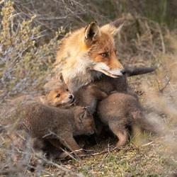 Vossen familie