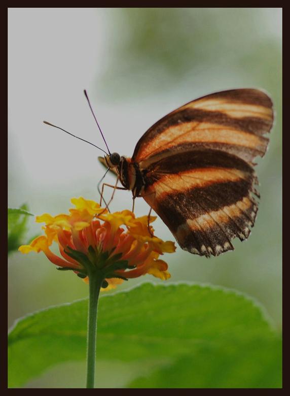 Dryandula Phaetusa - Ik ben bezig met mijn website wat bij te werken en de vlindermap is wel erg aan vervanging toe. Twijfel over deze foto. Maar dan