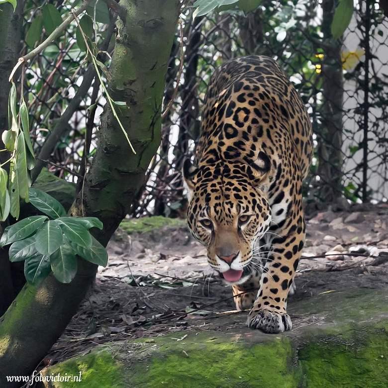 Jaguar - Bedankt voor de reacties op mijn vorige upload, ik plaats nu wat opnames van dieren. Hier de zelfde Jaguar maar onder andere licht omstandigh
