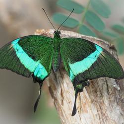 Exotische vlinder 1
