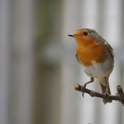 Robin-roodborstje (Erithacus rubecula)-7