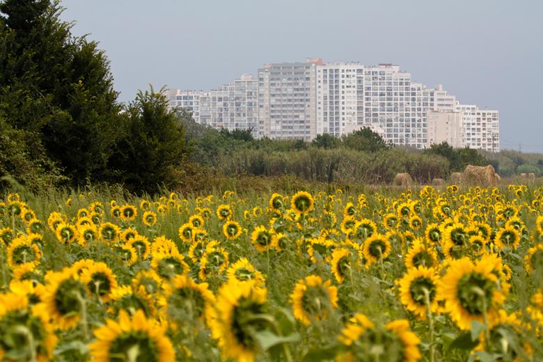 Watching the wrong side - Zonnebloemen in het veld kijken naar een hotel in Empuria Brava.<br /> <br />