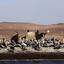 Pelikanen op de Ballestas eilanden in Peru