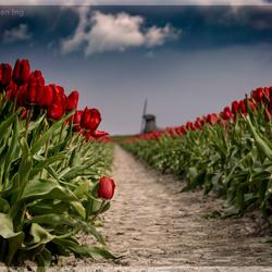 Tulpenveld voor hagelbui