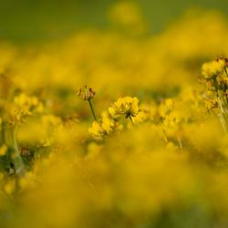 De gele zee